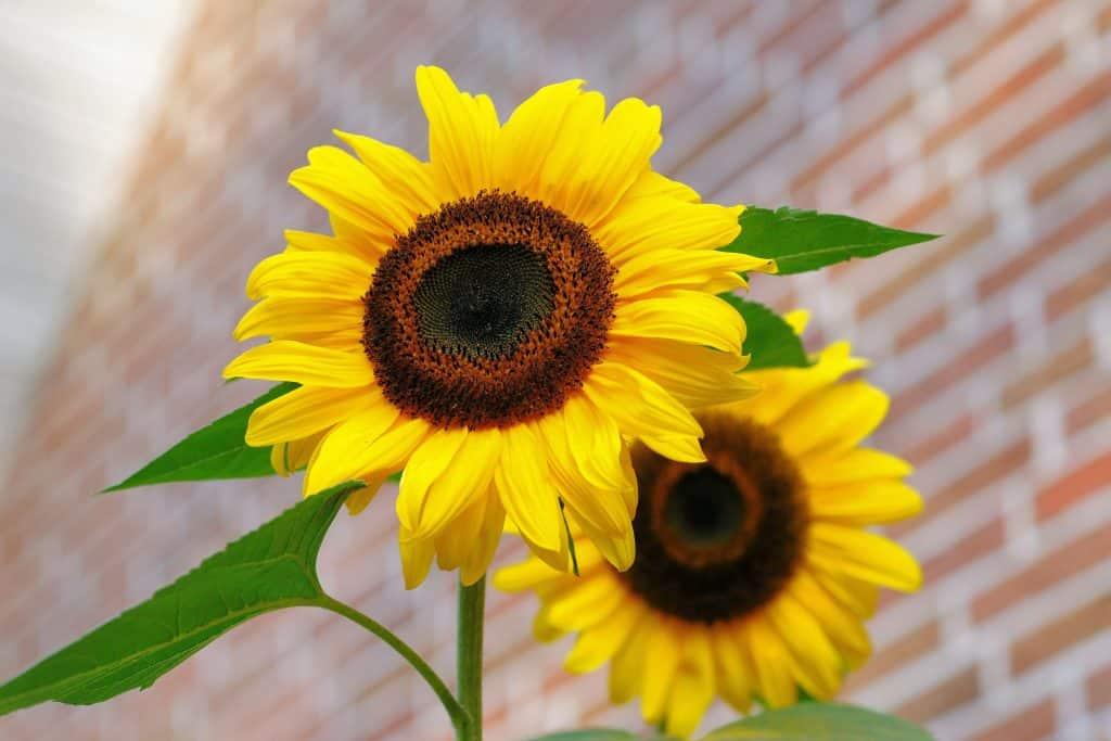 bright slunflowers