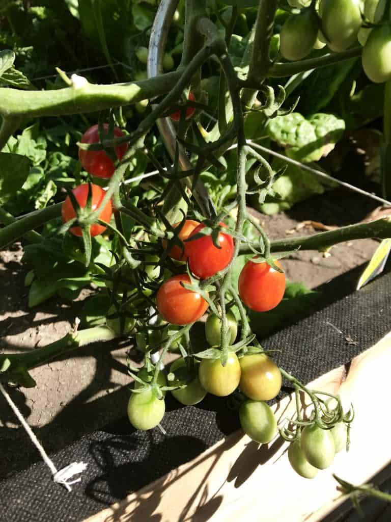 #squarefootgardening #sfg #melbartholomew #gardening #growyourownfood #companionplanting #family #familygarden #summergarden #farmtotable #ourhappyhive