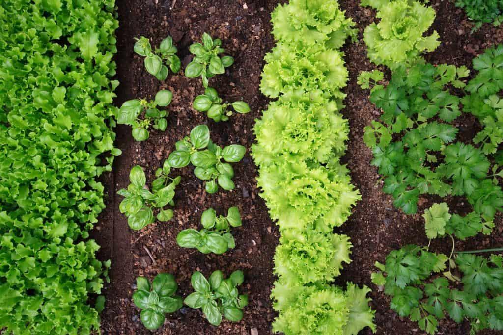 #companionplanting #squarefootgarden #raisedbeds #vegetablegarden #garden #gardening #nopesticides #growyourownfood #farmtotable #organic #ourhappyhive