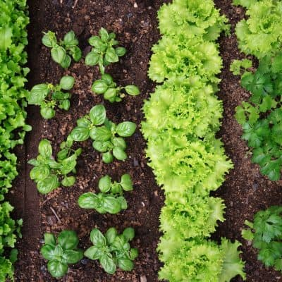 Companion Planting –How to Safely Nurture & Protect Your Garden For Optimum Yield