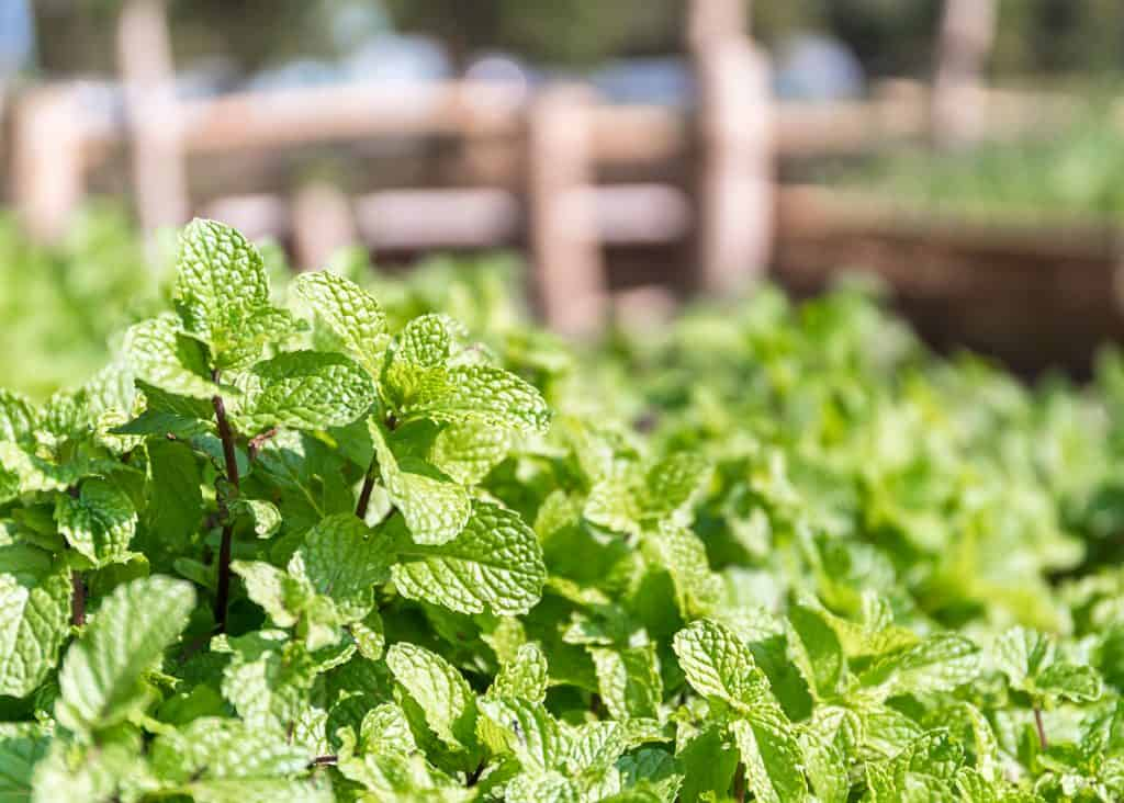 Fresh peppermint plant used for essential oils