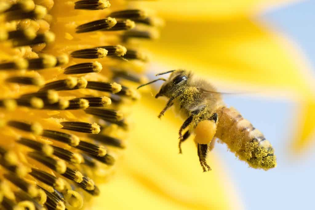 Honey Bee pollinating sunflower.